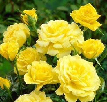 Роза флорибунда Goldbeet