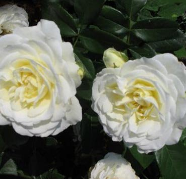 Роза флорибунда Kristallperle