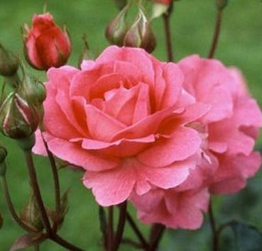 Роза флорибунда Tom Tom