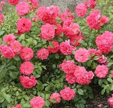 Роза флорибунда (ландшафтная) Bad Birnbach