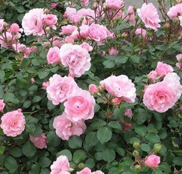 Роза флорибунда (ландшафтная) Bonica