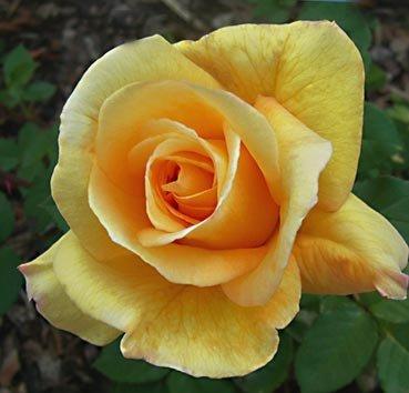 Роза флорибунда (ландшафтная) Conquest
