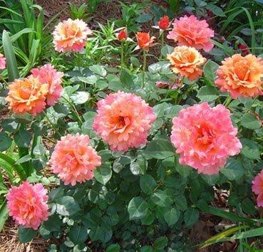Роза флорибунда (ландшафтная) Easy Does It