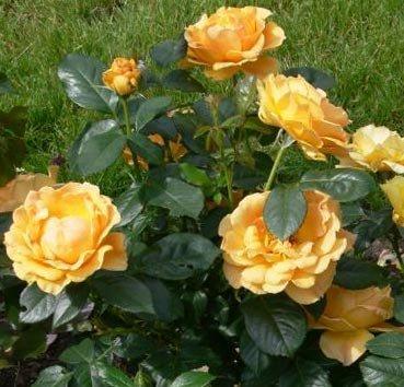 Роза флорибунда (ландшафтная) Easy Going
