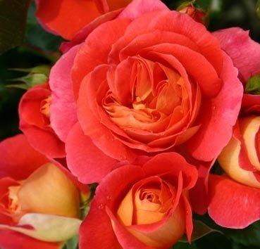 Роза флорибунда (ландшафтная) Gebruder Grimm