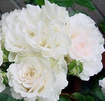 Роза флорибунда (ландшафтная) Great North Eastern