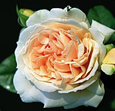 Роза флорибунда (ландшафтная) Louisa Stone