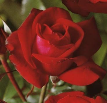 Роза флорибунда (ландшафтная) Lübecker Rotspon