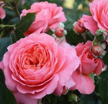 Роза флорибунда (ландшафтная) Pink Abundance
