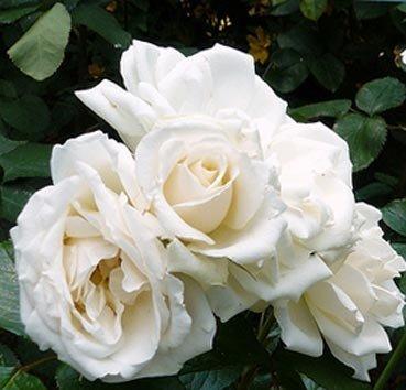 Роза флорибунда (ландшафтная) Princess of Wales