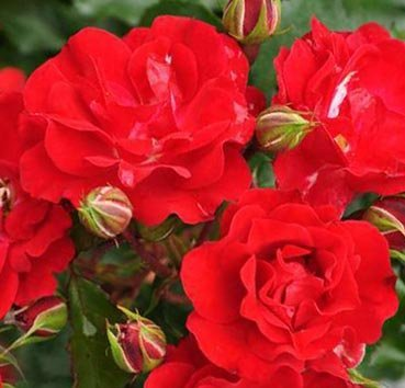 Роза флорибунда (ландшафтная) Rotilia