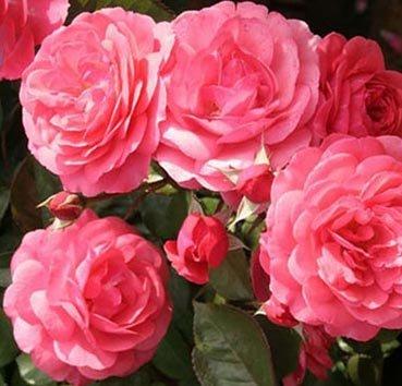 Роза флорибунда (ландшафтная) The Pink Professor