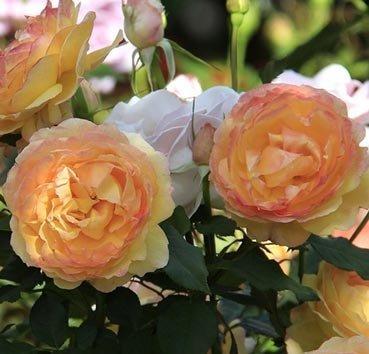 Роза флорибунда (ландшафтная) Wellbeing