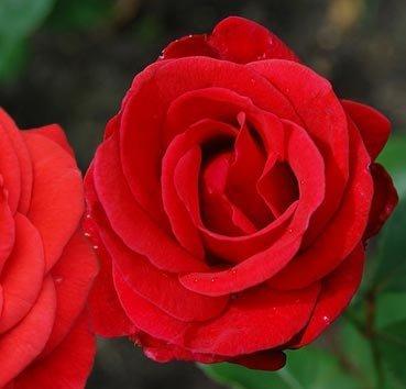 Роза чайно-гибридная Roter Stern