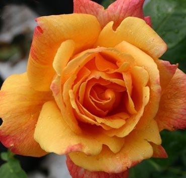 Роза чайно-гибридная Sutters Gold