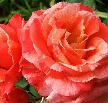 Роза чайно-гибридная Michelangelo