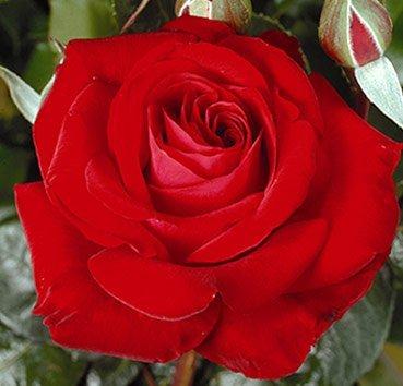 Роза чайно-гибридная Red Brokat