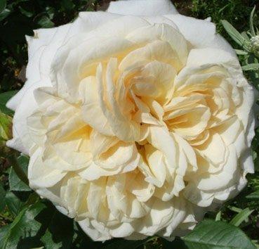Роза чайно-гибридная My Girl, серия Easy Elegance