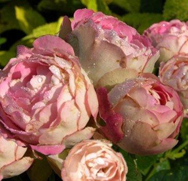 Роза Acropolis, серия Exklusive Rosen