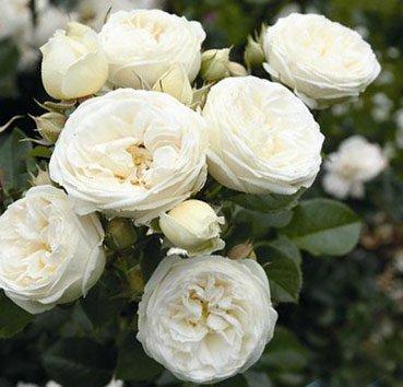 Роза Artemis, серия Exklusive Rosen