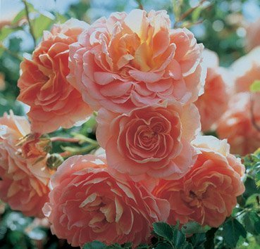 Роза Concerto 94, серия Exklusive Rosen