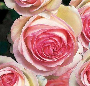 Роза Eden Rose 85, серия Exklusive Rosen