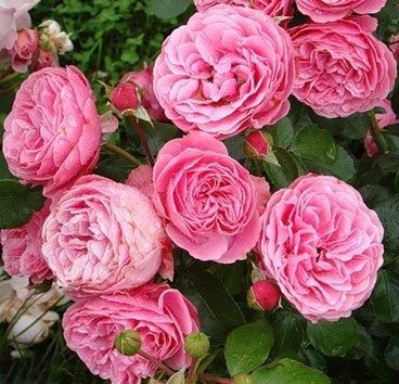 Роза Leonardo da Vinci, серия Exklusive Rosen