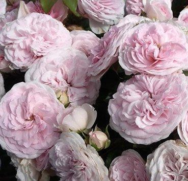 Роза Mariatheresia, серия Exklusive Rosen