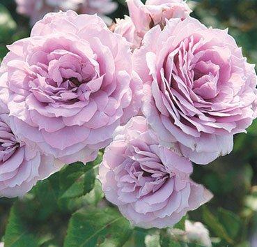 Роза Novalis, серия Exklusive Rosen