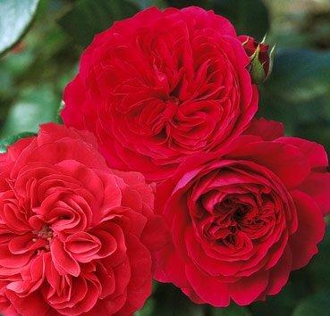 Роза Red Leonardo da Vinci, серия Exklusive Rosen