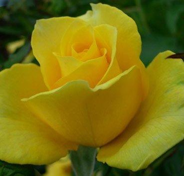 Роза Gold Fountain