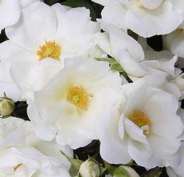 Роза плетистая White Star