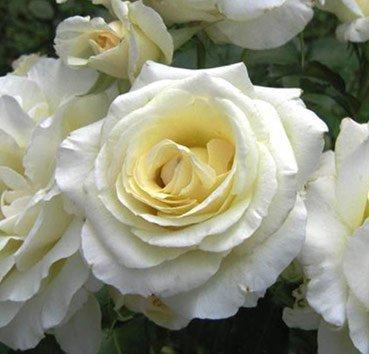 Роза плетистая Schneewalzer