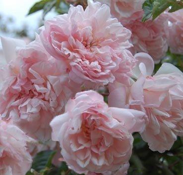 Роза-рамблер Francois Juranville