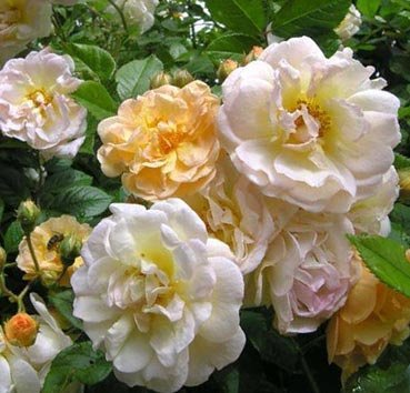 Роза историческая Ghislaine de Feligonde