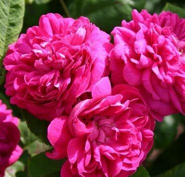 Роза историческая De Resht