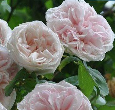 Роза историческая Souvenir de la Malmaison