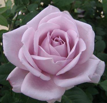 Роза Blue Girl, серия Les Grands Parfums de la Cote d'Azur