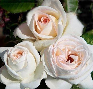 Роза Elvis, серия Les Grands Parfums de la Cote d'Azur