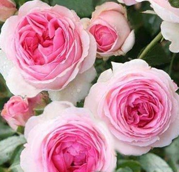 Роза Hermitage, серия Les Grands Parfums de la Cote d'Azur