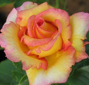 Роза Jules Verne, серия Les Grands Parfums de la Cote d'Azur