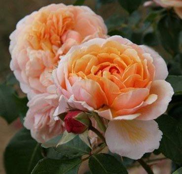 Роза Parfum D'orlean, серия Les Grands Parfums de la Cote d'Azur