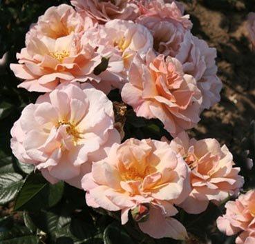Роза Scented Whisper, серия Les Grands Parfums de la Cote d'Azur