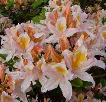 Азалия крупноцветковая (листопадная) Irene Koster