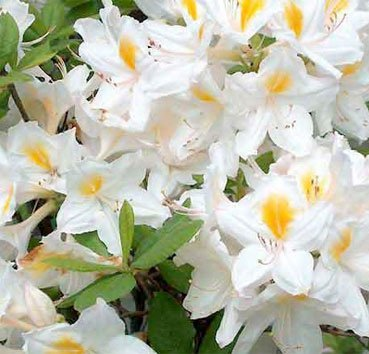 Азалия крупноцветковая (листопадная) Persil
