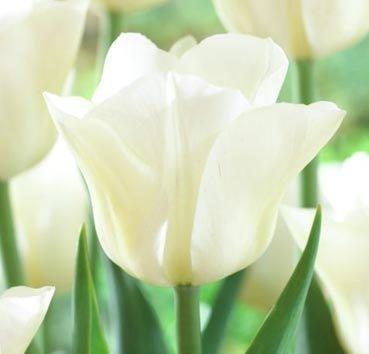 Тюльпан AGRASS WHITE (Триумф)