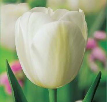 Тюльпан ANGELS WISH (Триумф)