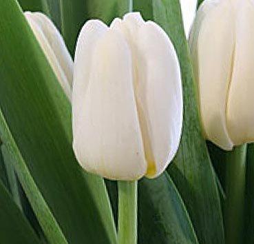 Тюльпан ANTARCTICA (Триумф)