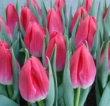 Тюльпан BOLROYAL PINK (Триумф)