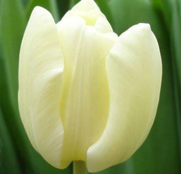 Тюльпан CHEERS (Триумф)